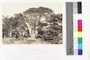 The Largest of the Cedars – הספרייה הלאומית
