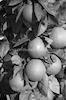 תפוזים על עץ, רעננה – הספרייה הלאומית