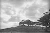 עצי שקמים בדיונות, תל אביב – הספרייה הלאומית