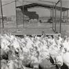 לול תרנגולים במושב רם און בחבל תענך.