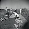 חברי קיבוץ דגניה עובדים בשדות.