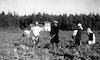 נשים תימניות עודרות בשדה, קבוצת כנרת.