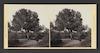Egypt--Heliopolis. Ancient Fig Tree – הספרייה הלאומית