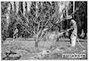 שריד טיפול בעצים 4/1947 – הספרייה הלאומית