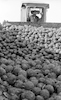 Part of the 259 tons of avocados that were buried near Karkur after workers of the Avocado Marketing Board declared they were unfit for human consumption.