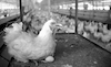A hudge poultry factory at Shaar Hanegev produce a large quantity of eggs and chicken meat for the local market as well as for abroad.: