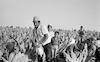 Arab peasants working in Jewish farms growing tobacco leaves in Galilee – הספרייה הלאומית