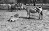 A zebra mother taking care of its offspring in the Ramat Gan Safary – הספרייה הלאומית