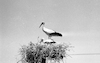 As usual, the storks are breading on the Golan Hights after flying thousands of miles from the northern countries in Europe – הספרייה הלאומית