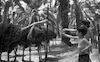 The Ostrich farm at the HaOn Kibbutz near the Kinneret Lake.: – הספרייה הלאומית