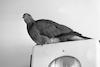 A pigeon resting – הספרייה הלאומית