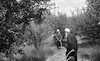 Druze farmers fumigating the olive trees at Tabcha.