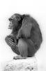 A Chimp – הספרייה הלאומית