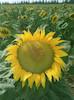 The picture shows a beuatiful sunflower – הספרייה הלאומית