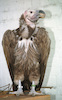 An injured vulture was caught and brought to the zoological garden for recovery – הספרייה הלאומית