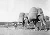 A camel caravan carrying merchandize.: