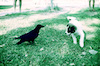 A little dog playing with a crow – הספרייה הלאומית