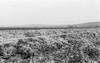 שדה כרובית בגן הירק של בית אלפא פבר' – הספרייה הלאומית