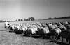 עדר הצאן של בית אלפא – הספרייה הלאומית