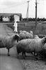 כבשים לצמר מזן מרינו – הספרייה הלאומית