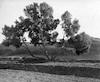 עץ אשל ליד גבולות – הספרייה הלאומית