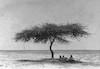 עץ צאלה ליד גבולות – הספרייה הלאומית