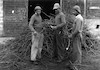 הכנת כנות לכרם הענבים מקוה ישראל 1933 – הספרייה הלאומית
