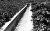 רפרודוקציה לתצלום משנות העשרים, תעלת השקייה ליד בית אלפא 23 – הספרייה הלאומית