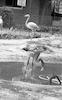 מכלאת הפלמינגואים בגן החיות ברמת גן – הספרייה הלאומית