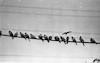 Tel Aviv pigeons resting – הספרייה הלאומית