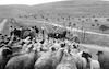 Israel gives medical help not only to South Lebanese people but also vaccinate flocks agains deseases near the Good Fence border – הספרייה הלאומית