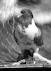 Unique pigeons – הספרייה הלאומית