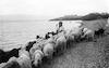 רועת כבשים – הספרייה הלאומית