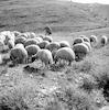 עדר הצאן בהרים – הספרייה הלאומית